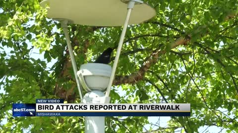 Bird dive-bombs walkers at local park while protecting their nest