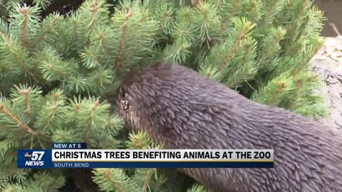 Christmas trees benefitting animals at Potawatomi Zoo