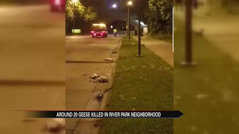 Driver kills 20 geese in South Bend