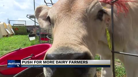 LaGrange farmer starts unique rent-a-calf program to save dairy...