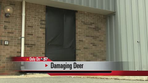 Two deer crash through glass window at Elkhart factory
