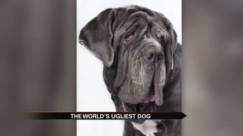 'Drooling, snoring, gassy' Martha the mastiff wins World's Ugliest Dog