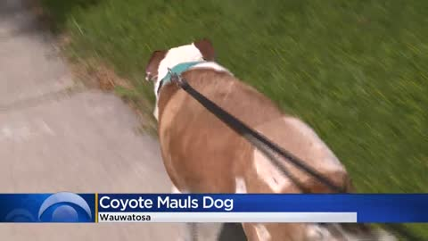 Coyotes attack dogs, killing one at County Grounds Park