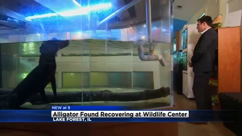 UPDATE: Alligator found in Lake Michigan is a boy with stunted growth says vets