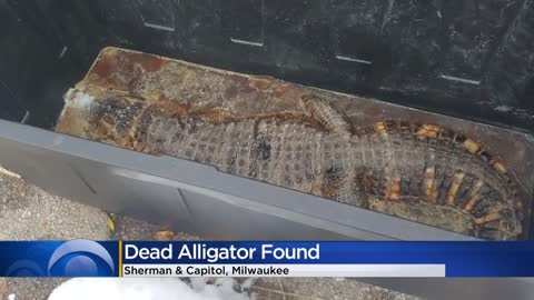 Alligator found in alley in plastic bin on city's north side