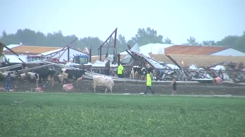 500 cows displaced after dairy farm in Brandon destroyed by storm