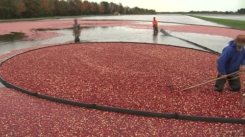 """Started this marsh in 1940:"" Behind-the-scenes look at cranberry harvest in Wisconsin"