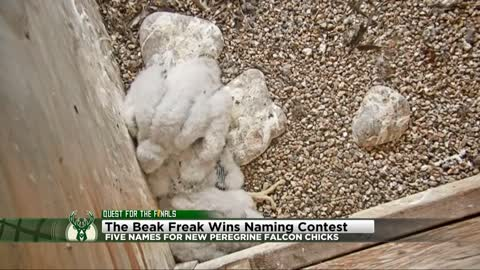 'The Beak Freak' wins falcon naming contest