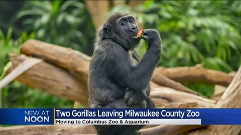 Milwaukee County Zoo gorillas Shalia and Sully will be transferred...