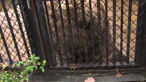 Milwaukee County Zoo employees disciplined after grizzly bears escape main enclosure