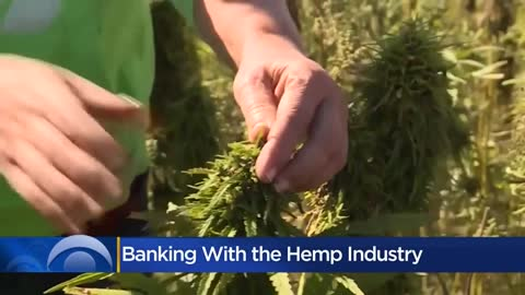 Banks wary of helping businesses in hemp industry due to confusion...