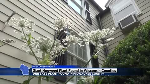 Giant hogweed plant found in various counties including Milwaukee