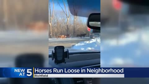 Herd of horses continually breaking out, roaming free on streets...
