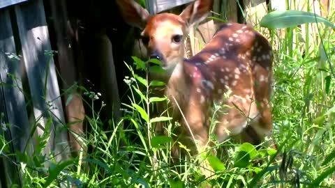 HAWS says to leave found fawns alone