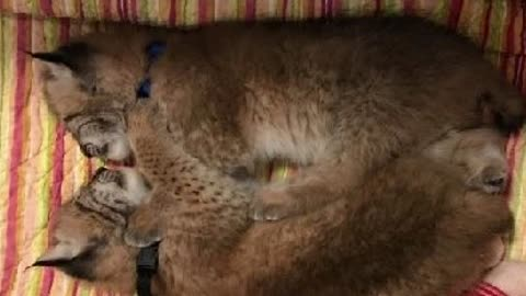 Two baby Siberian Lynxes snatched from Animal Gardens in Delavan