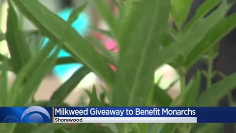 Milkweed plants given away to help monarch butterflies