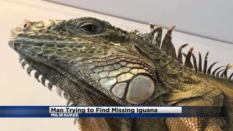 Man trying to find pet iguana on the loose in a Milwaukee neighborhood