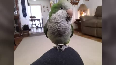 Kenosha woman searching for missing quaker parrot