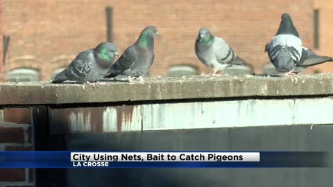 La Crosse to work with USDA to control city's pigeon problem