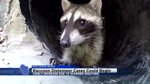 Raccoon distemper cases could increase due to warmer weather