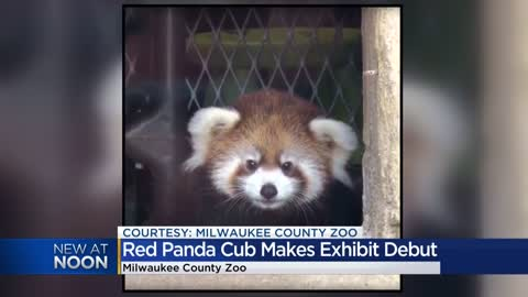 Red Panda cub makes exhibit debut at Milwaukee County Zoo