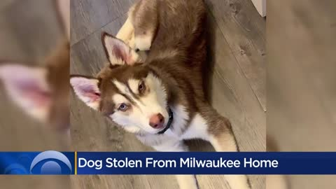Siberian Husky taken from Milwaukee woman's home has been returned
