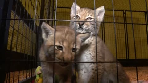 """I trusted him Completely"": Owner Believes Employee Stole Lynx Kittens for Black Market"