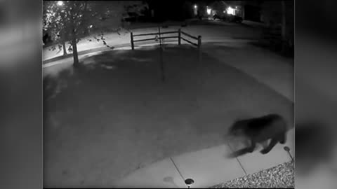 Black bear walks through yard in Johnson Creek