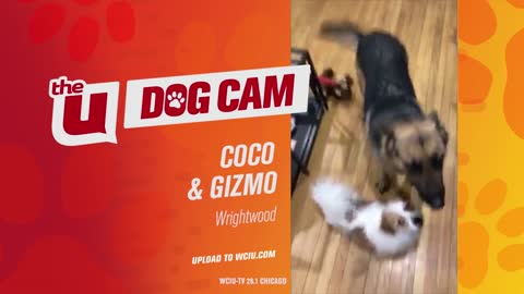 COCO AND GIZMO - WRIGHTWOOD
