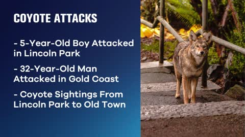 Coyotes Attack Boy, Man in Chicago